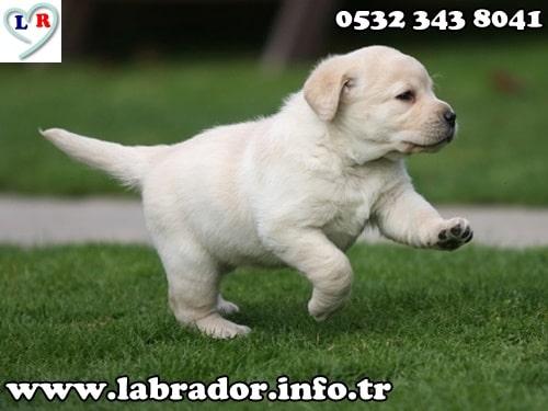 labrador retriever beyaz yavru