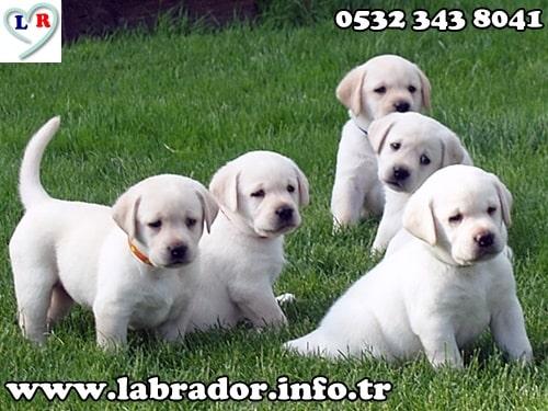 labrador beyaz yavru