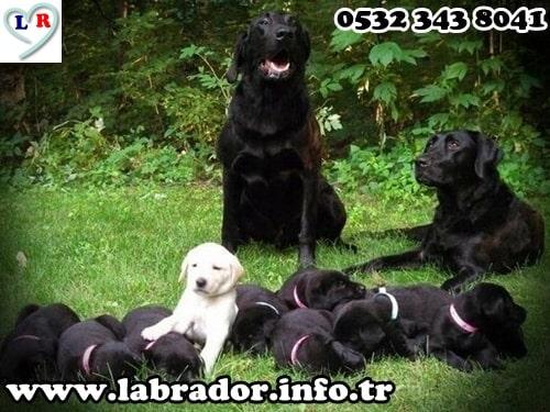 siyah labrador